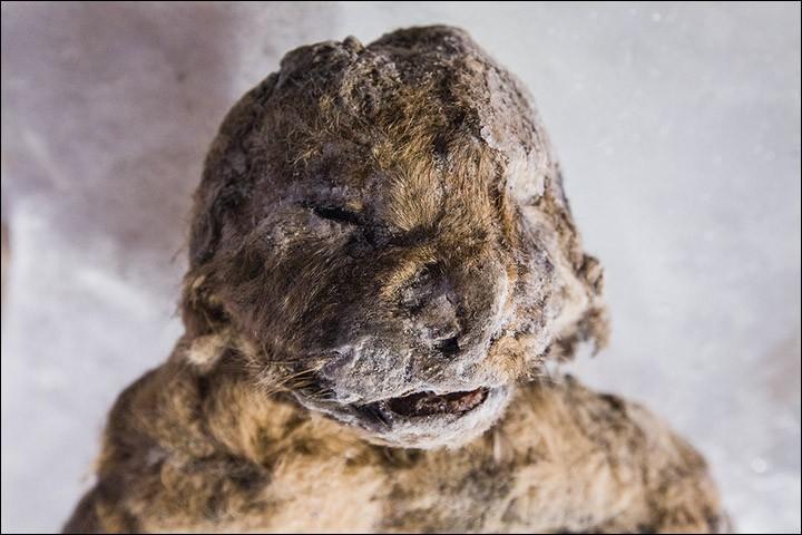Rosto do filhote de leão da caverna  (Foto: Anastasiya Koryakina/Siberian Times)