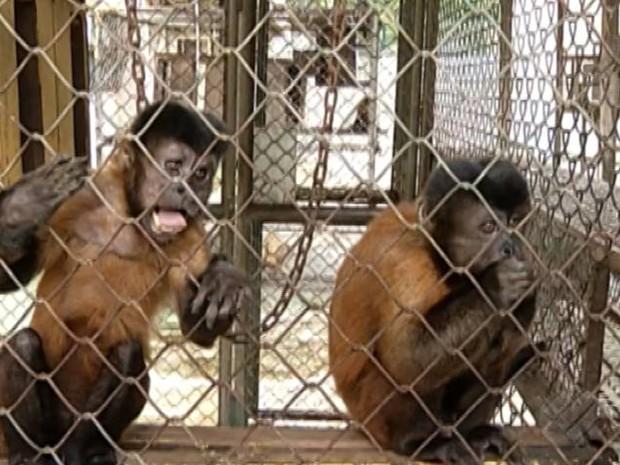 Paraenses estudam o comportamento de macacos para ajudar crianças que tenham algum tipo de dificuldade na aprendizagem. É do Pará (Foto: Reprodução/TV Liberal)
