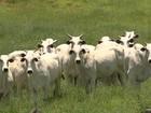Pecuaristas seguram boi no pasto à espera de uma cotação melhor