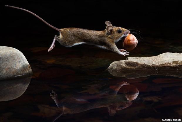 O pulo deste rato de pescoço amarelo foi registrado por Carsten Braun (Foto: Carston Braun/BBC)
