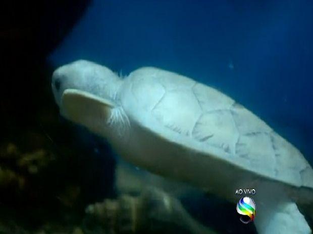 Segundo especialista, na natureza a tartaruga branca é presa fácil (Foto: Reprodução/TV Sergipe)