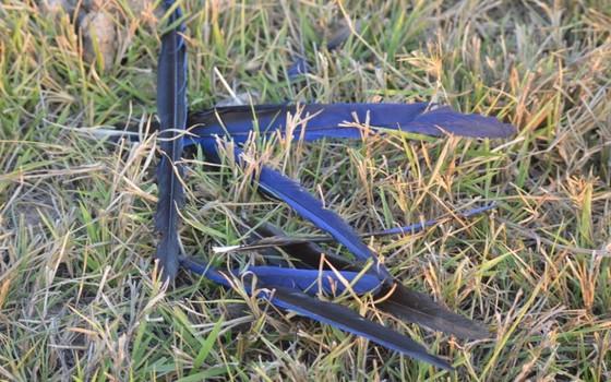 Carcaça de arara azul encontrada em propriedade em Mato Grosso (Foto: Edson Diniz/Divulgação)