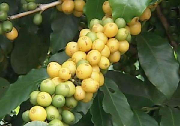 café cerrado mineiro (Foto: Reprodução/ TV Integração)