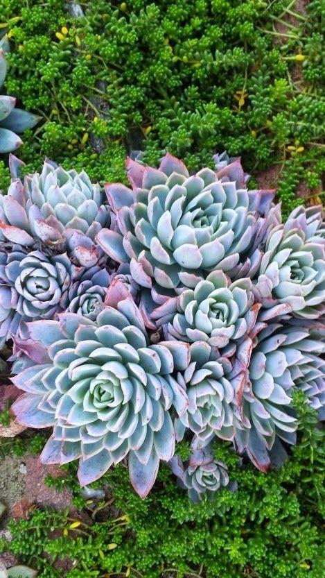 Nome científico: Echeveria Elegans. Popularmente conhecida como bola-de-neve-mexicana (Foto: Pinterest/Reprodução)