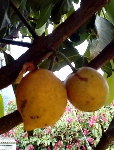 fruta-falso-mangostão  (Foto: Solange Calimam)