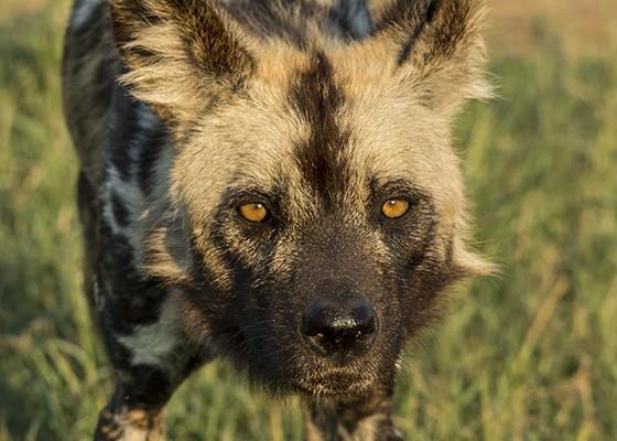 Os cachorros-selvagens são exímios caçadores, conseguindo alcançar suas presas em 80% dos casos (Foto: © Haroldo Castro/ÉPOCA)