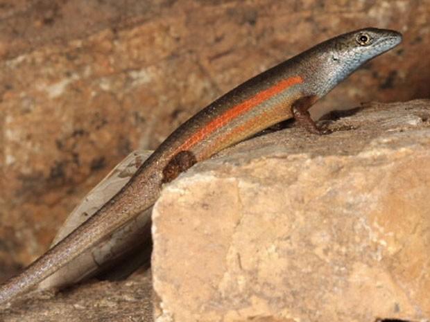 Lagarto Austrália (Foto: Divulgação/Zootaxa)