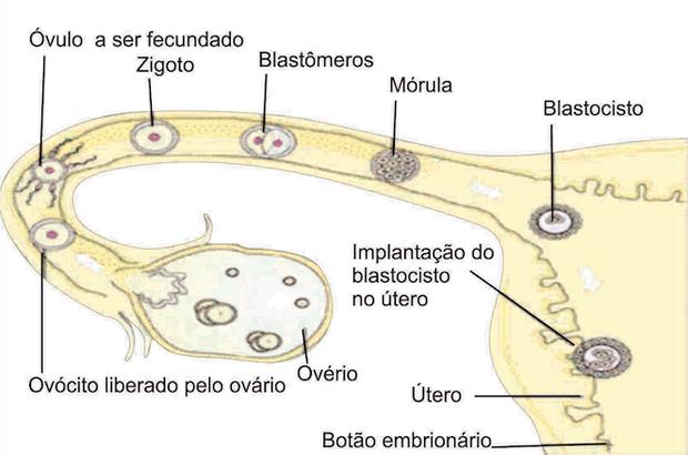 embriologia (Foto: Colégio Qi)