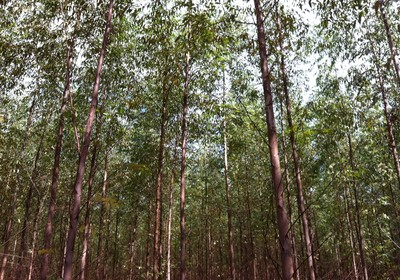 agricultura_floresta_papel_celulose (Foto: Viviane Taguchi)