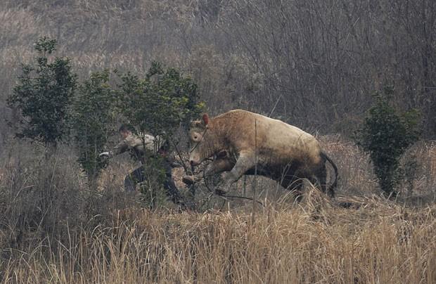 Após fugir de caminhão, vaca atacou fazendeiro chinês (Foto: China Daily/Reuters)