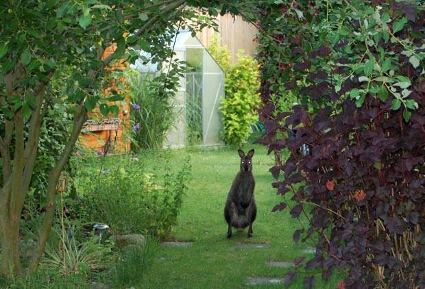 Polícia de Lauenhagen tenta capturar 'canguru fujão'. (Foto: AFP)