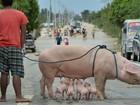 Porca amamenta leitões no meio de estrada nas Filipinas