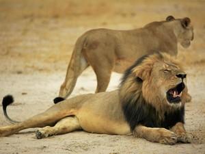 Leão Cecil tinha 13 anos (Foto: Reprodução/Facebook/Zimparks)