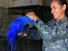 Arara-azul tenta aprender a voar após ter sido resgatada em Mato Grosso