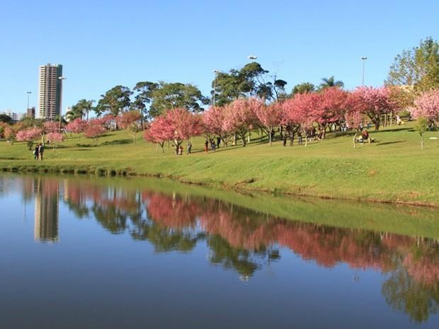 Inverno é época da florada das cerejeiras do Parque do Lago (Foto: Divulgação/Prefeitura)