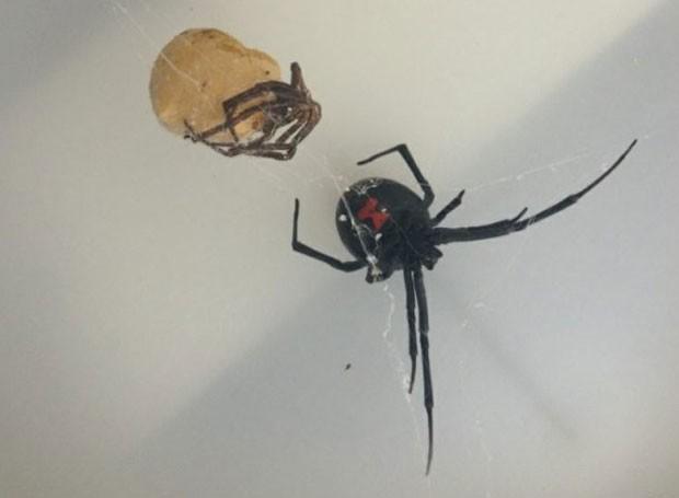 Aranha viúva-negra foi encontrada em carregamento vindo dos EUA (Foto: Divulgação/Scottish SPCA)