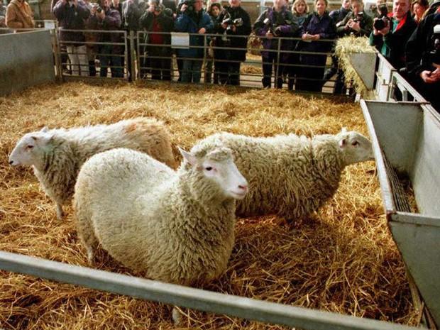 Foto mostra ovelha Dolly em fevereiro de 1997  (Foto: Colin McPherson/AFP Photo)