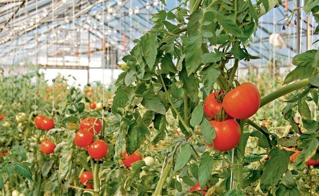 como_plantar_tomates (Foto:  )