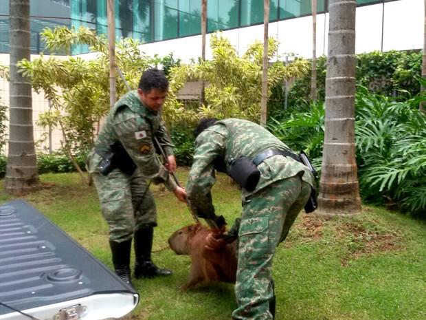 Capivara capturada em Uberlândia segunda-feira (16) (Foto: Polícia Militar de Meio Ambiente/Divulgação)