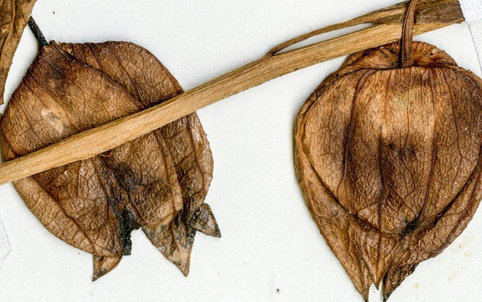 Frutos secos de fisális moderna, que é encontrada na costa do estado americano da Flórida; fóssil argentino seria de uma planta semelhante, segundo os cientistas (Foto: Peter Wilf/Penn State)