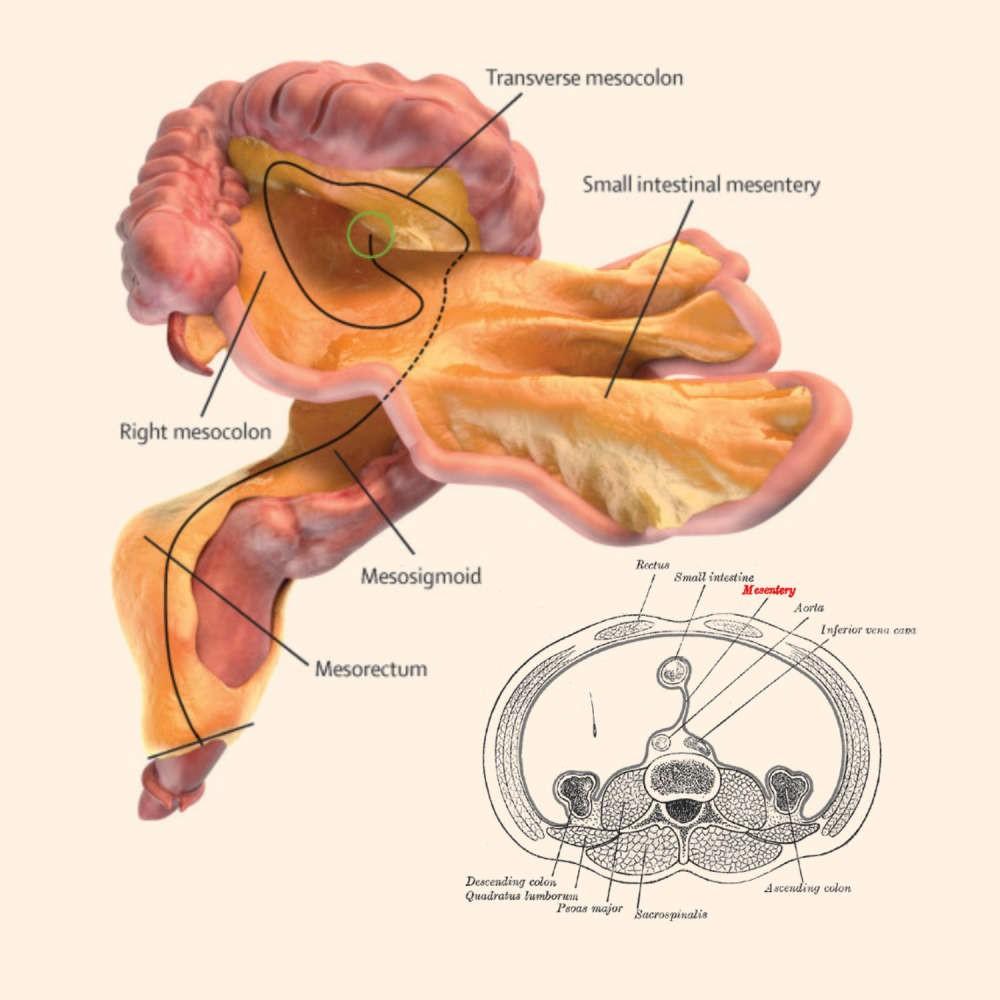 Ilustração que representa a estrutura do mesentério (Foto:  J Calvin Coffey/D Peter O'Leary/Henry Vandyke Carter/Lancet)