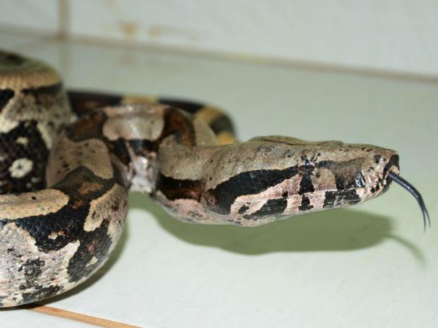 Jiboia é uma serpente não venenosa que impressiona pelo seu tamanho (Foto: Polícia Ambiental/Divulgação)