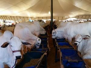 Expo Nelore MS está reunindo animais de seis estados do país em Campo Grande  (Foto: Edevaldo Nascimento/TV Morena)