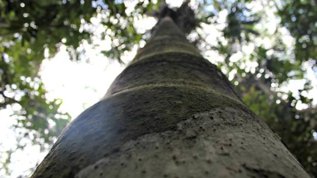 Árvore na área de preservação da Ufam Manaus (Foto: Adneison Severiano G1/AM)