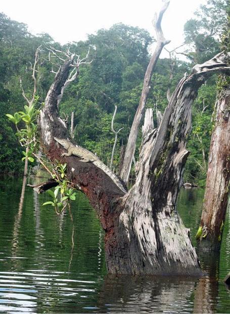 """Exemplar de aligátor, espécie de """"jacaré americano"""", é visto em uma árvore perto de rio no Mississipi (Fot Kristine Gingras/Universidade do Tennessee)"""