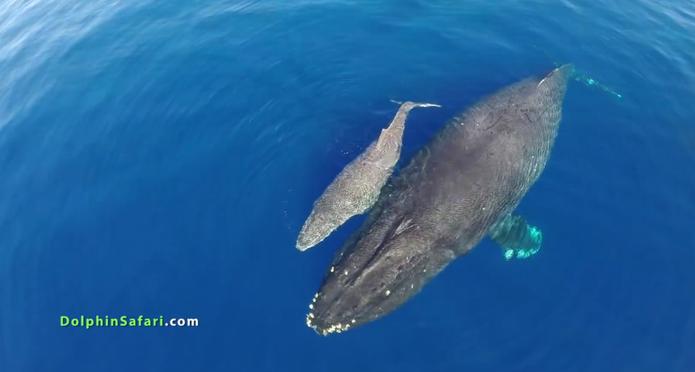 Drone é usado por cientistas para capturar cenas raras de golfinhos e baleias em alto mar na California (Foto: Reprodução/Dolphin Safari)