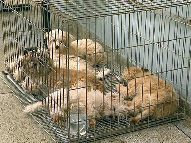Dez dos 39 cães de raça roubados foram resgatados pela Polícia Civil nesta sexta-feira (6) (Foto: Paulo Souza/EPTV)