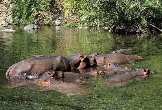 A nascente Mzima, dentro do Parque Nacional Tsavo Oeste, no Quênia, permite que rebanhos de hipopótamos se deliciem nas piscinas de águas transparentes  (Foto: Haroldo Castro/ÉPOCA)