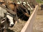 Agricultores do PI aproveitam as chuvas para produzir sorgo