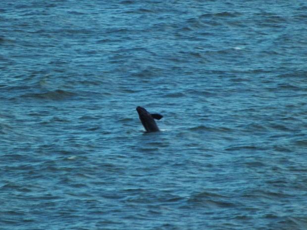 Filhote de baleia-franca dá show em praia de Torres (Foto: Rodrigo Soares/VC no G1)