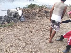 Grupo usou cordas para resgatar vaca da lama (Foto: Antônio Amorim/Arquivo Pessoal)