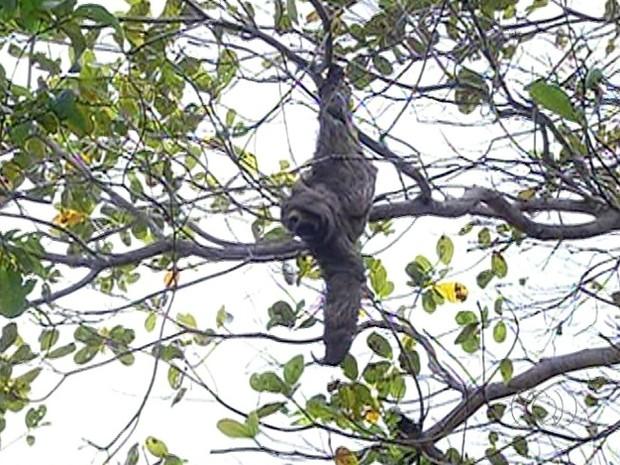 Preguiça foi encontrada em árvore no centro de Araguaína (Foto: Reprodução/TV Anhanguera)
