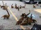 Quatis invadem shopping em busca de comida no litoral de SP; assista