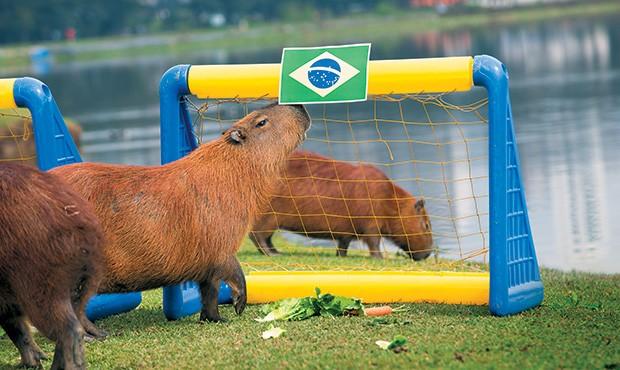 VAI, BRASIL! Uma das capivaras videntes no  gol brasileiro no Parque Barigui, em Curitiba. É preciso interpretar  (Foto: Guilherme Pupo/ÉPOCA)