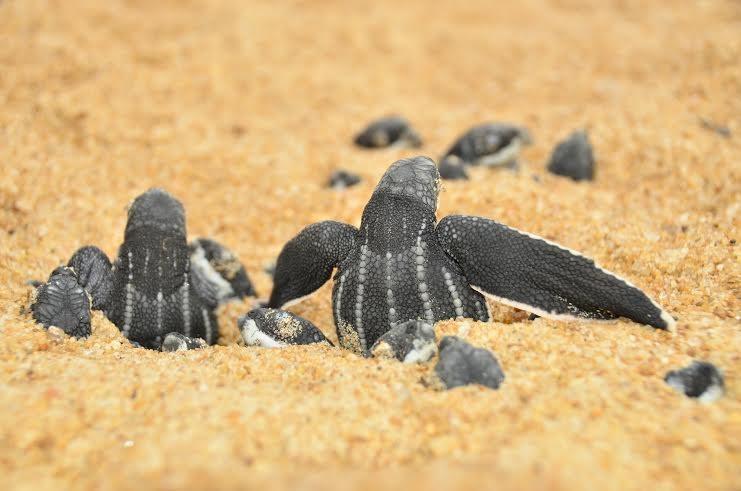 A espécie está entre as cinco no Brasil com maior risco de extinção. Espírito Santo (Fot Henrique Filgueira do Projeto Tamar.)