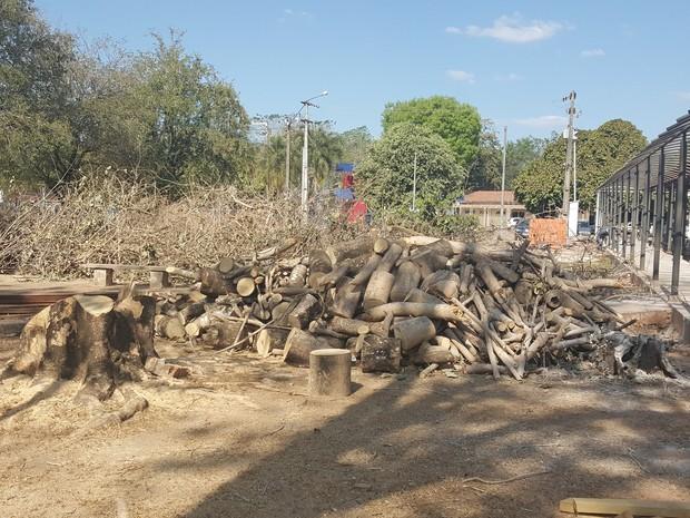 Segundo alunos, árvores eram usadas por maritacas e araras (Foto: Marco Bernardi/ G1)