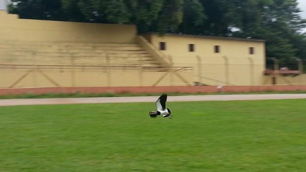 Quero-quero no estádio de São Roque (SP) (Foto: Pupo Fernandes / Divulgação)