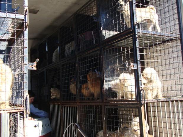 Cães sofriam maus-tratos em criadouro clandestino (Foto: Patrícia Tomasi/Divulgação Diretoria Bem-Estar)