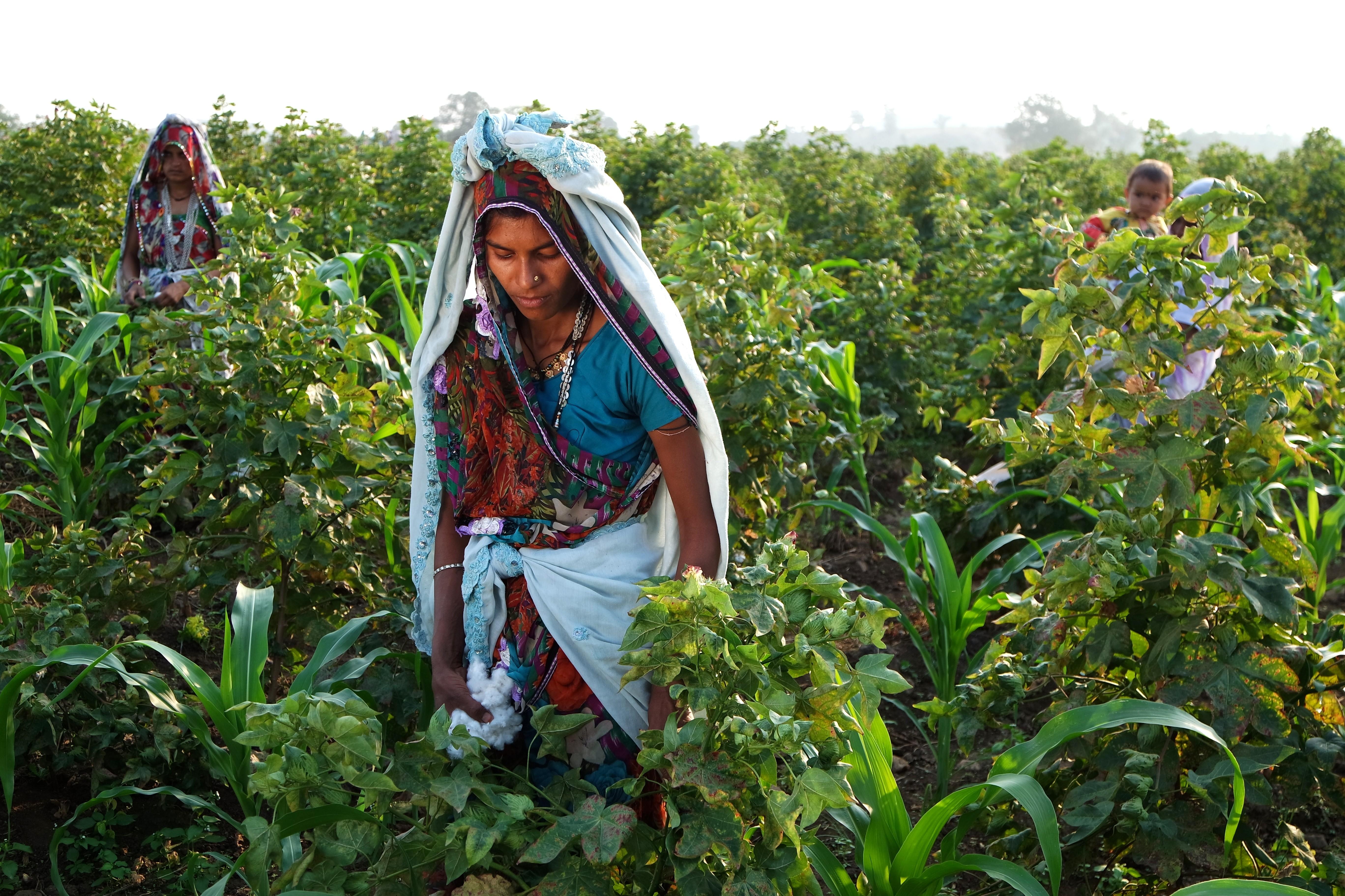 Fazendo orgânica de algodão na Índia (Foto: Mirella Pappalardo/Divulgação)