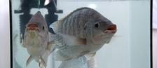 Criação de peixes é retomada no Rio Paraná  (Reprodução/ TV TEM)