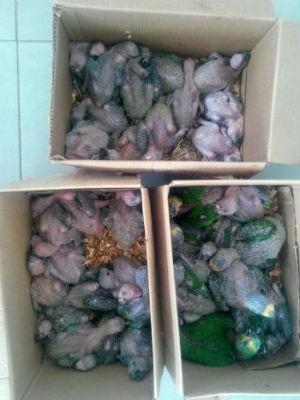 Aves resgatadas foram levadas a um viveiro (Foto: Divulgação/PRF)