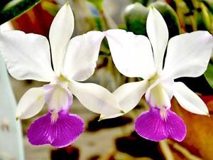 Flor em exposição na Festa Nacional da Orquídea (Foto: Divulgação)