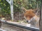Vídeo de gatos trocando 'encarada' com raposa faz sucesso na web