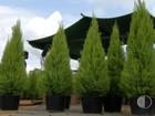 Cresce a venda de pinheiros de Natal no Alto Tietê