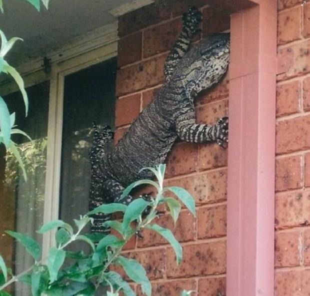 Australiano flagrou lagarto enorme na parede de sua casa (Foto: Reprodução/Facebook/Shit Aussies say.)