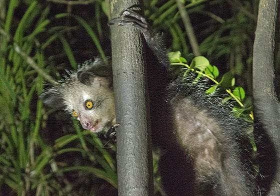 O aye-aye é rechaçado pelos malgaxes devido a seu aspecto bizarro  (Foto: © Haroldo Castro/ÉPOCA)